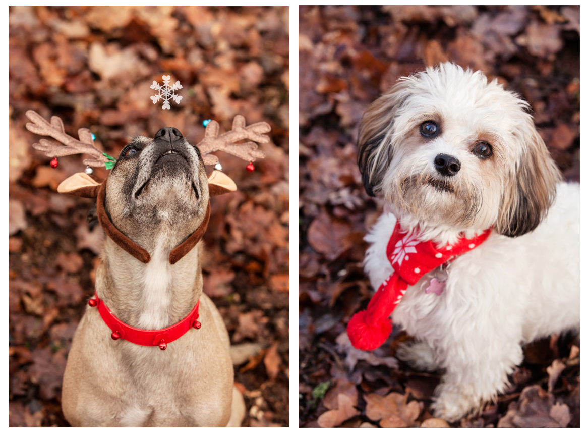 Clare J Sheridan Photography - A grey mixed breed dog wearing Xmas antlers looking up at a snowflake & a white Shihtzu wearing a red scarf