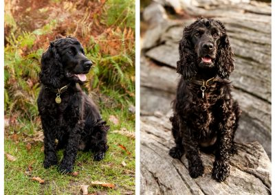Clare J Sheridan Photography - A black Cocker Spaniel sat in grass and on a log