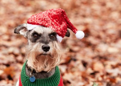Clare J Sheridan Photography - A grey Miniature Schnauzer wearing a Santa hat