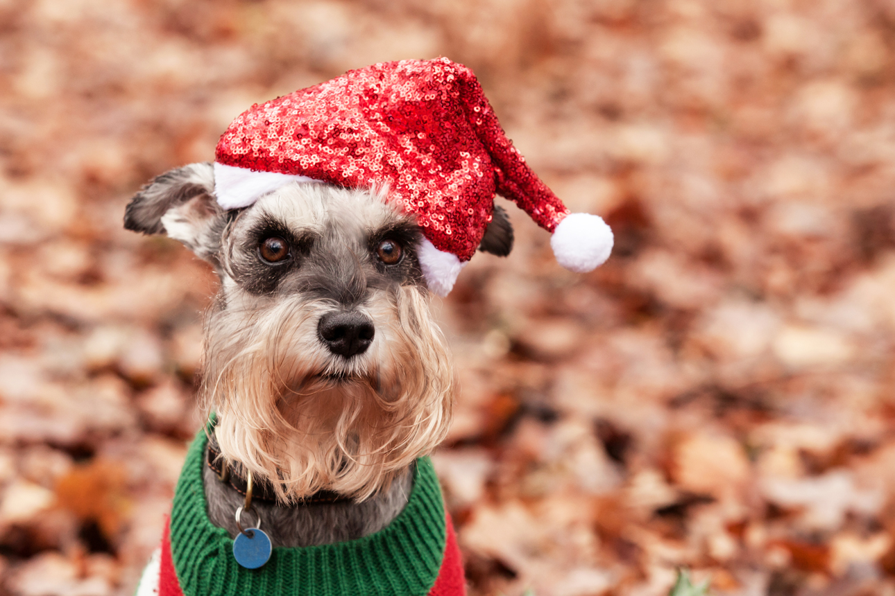 Clare J Sheridan Photography - A grey Miniature Schnauzer wearing a Santa hat