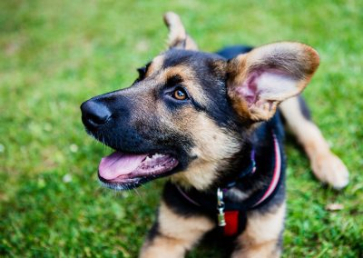 Clare J Sheridan Photography - A German Shepherd cross puppy