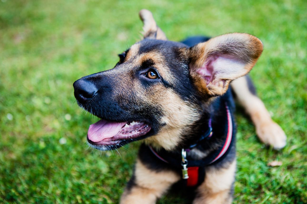 Clare J Sheridan Photography - A German Shepherd cross puppy
