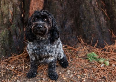 Clare J Sheridan Photography - A black Cockapoo sat at the base of a large tree