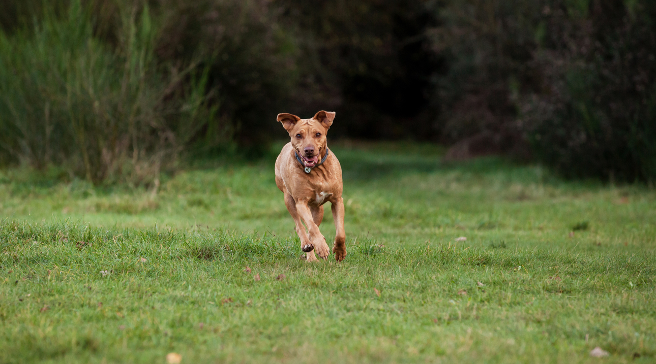 Clare J Sheridan Photography - A ginger mixed breed dog running in a field