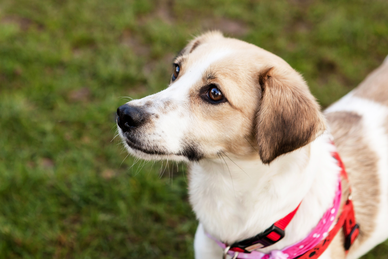 Clare J Sheridan Photography - A brown and white mixed breed dog