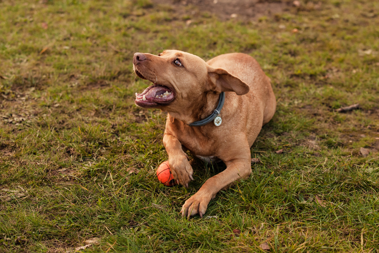 Clare J Sheridan Photography - A gigner mixed breed dog laid on grass with an orange ball
