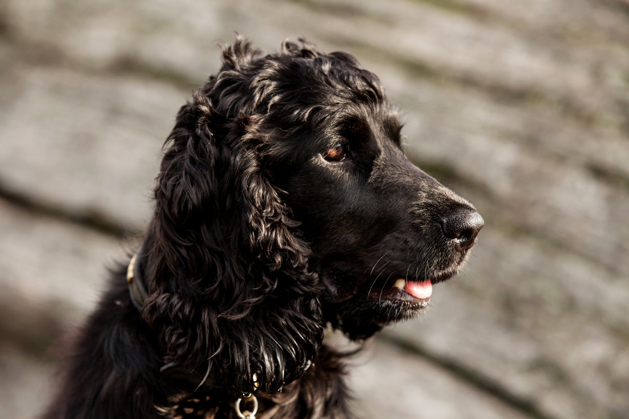Clare J Sheridan Photography - Profile of the head of a black Cocker Spaniel