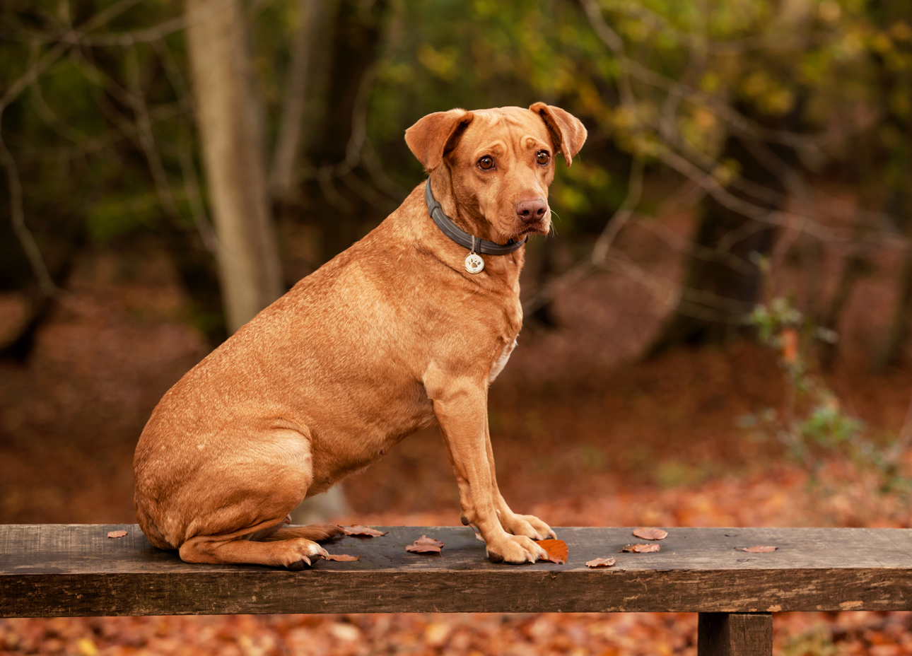 Clare J Sheridan Photography - Ginger mixed breed dog sat on bench in forest