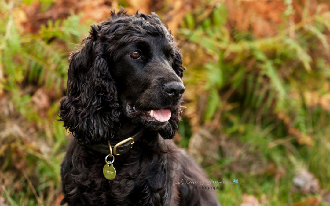 Black Cocker Spaniel in Frankfurt woodland - Clare J Sheridan Photography