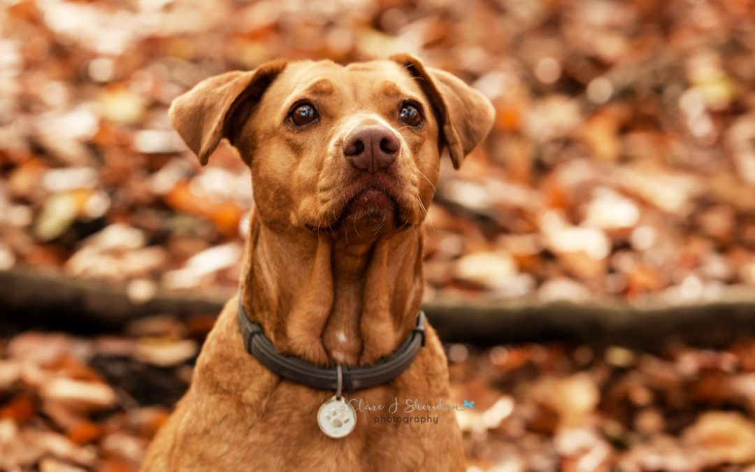 Woodland autumn pet photoshoot with ginger dog - Clare J Sheridan Photography